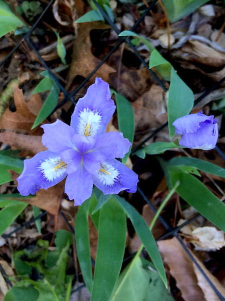 "Crested Iris (<i>Iris cristata</i>) Woodend Blair Garden <font color=""green"">Photo by Allen Browne</font>"