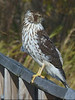 "Cooper's Hawk (<i>Accipiter cooperi</i>) Ferry Point Trail, Chester, MD <font color=""green"">Photo by Allen Browne</font>"