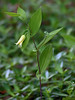 "Perfoliate bellwort (<i>Uvularia perfoliata</i>) Fort Valley, VA <font color=""green"">Photo by Allen Browne</font>"