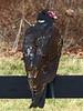 "Turkey Vulture (<i>Cathartes aura</i>) Morven Park, Leesburg, VA <font color=""green"">Photo by Allen Browne</font>"