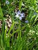 "Blue-eyed Grass (<i>Sisyrinchium angustifolium</i>) Piney Branch Portal Park, Washington, DC <font color=""green"">Photo by Allen Browne</font>"