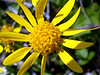"""Golden Ragwort (<i>Packera aurea</i>) Montgomery College, Silver Spring, Maryland <font color=""""green"""">Photo by Allen Browne</font>"""