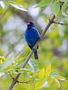 "Indigo Bunting West Branch, Patuxent River <font color=""green"">Photo by Allen Browne</font>"