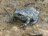 "Gray Tree Frog (<i>Hyla versicolor</i>) Riley's Lock, C&O Canal <font color=""green"">Photo by Allen Browne</font>"