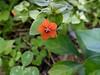 """Scarlet Pimpernel (<i>Anagallis arvensis</i>) Monocacy Battlefield, Frederick, MD <font color=""""green"""">Photo by Allen Browne</font>"""