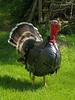 "Turkey (Bronze Standard) Claude Moore Colonial Farm, McLean VA <font color=""green"">Photo by Allen Browne</font>"