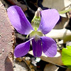 "Common Blue Violet (<i>Viola sororia</i>) Silver Spring, Maryland <font color=""green"">Photo by Allen Browne</font>"