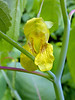 "Pale Jewelweed (<i>Impatiens pallida</i>) Monocacy Battlefield, Frederick, MD <font color=""green"">Photo by Allen Browne</font>"
