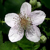 """Common Blackberry (<i>Rubus allegheniensis</i>) Silver Spring, Maryland <font color=""""green"""">Photo by Allen Browne</font>"""