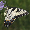 """Tiger Swallowtail (<i>Pterourous glaucus</i>) Silver Spring, Maryland <font color=""""green"""">Photo by Allen Browne</font>"""