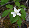 "Wood Anemone (<i>Anemone quinquefolia</i>) Fort Valley, VA <font color=""green"">Photo by Allen Browne</font>"