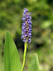 "Pickerelweed (<i>Pontederia cordata</i>) Kenilworth Aquatic Gardens, Washington, DC <font color=""green"">Photo by Allen Browne</font>"
