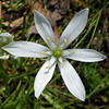 "Garden Star-of-Bethlehem (<i>Ornithogalum umbellatum</i>) Silver Spring, Maryland <font color=""green"">Photo by Allen Browne</font>"