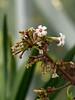 "Quinine (<i>Cinchona pubescens</i>) flowers National Botanic Garden Production Facility, Washington, DC <font color=""green"">Photo by Allen Browne</font>"