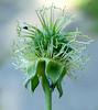"White Avens (<i>Geum canadense</i>) bur (fruit) Silver Spring, Maryland <font color=""green"">Photo by Allen Browne</font>"