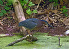"Green Heron (<i>Butorides virescens</i>) Riley's Lock, C&O Canal <font color=""green"">Photo by Allen Browne</font>"