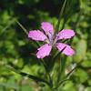"""Deptford Pink (<i>Dianthus armeria</i>) Silver Spring, Maryland <font color=""""green"""">Photo by Allen Browne</font>"""