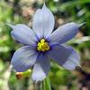 "Blue-eyed Grass (<i>Sisyrinchium angustifolium</i>) flower Piney Branch Portal Park, Washington, DC <font color=""green"">Photo by Allen Browne</font>"