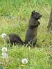 "Black Grey Squirrel (<i>Sciurus carolinensis</i>), Eastern Gray Squirrel - melanistic form Jessup Blair Park, Silver Spring, Maryland <font color=""green"">Photo by Allen Browne</font>"
