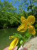 "Greater Celandine (<i>Chelidonium majus</i>) Riley's Lock, C&O Canal <font color=""green"">Photo by Allen Browne</font>"