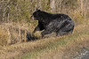 Black Bear dashes out of canal into woods during sunny mid-morning