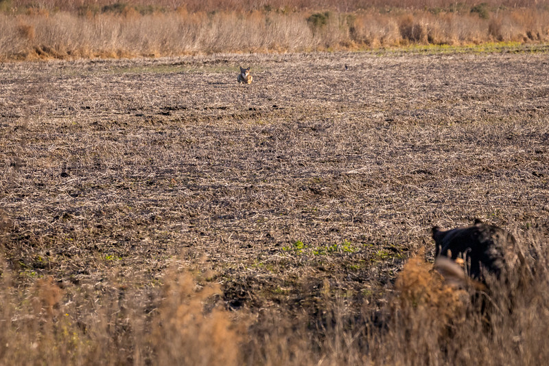 Red Wolf, Coyote, or Hybrid ?? (btw, there's a big bear in right foreground that he's staring down!!!)