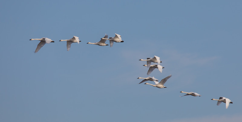 Tundra Swans at Pungo