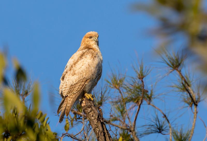 Leucistic Red-Shouldered Hawk  (pretty rare!)