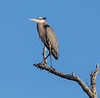 Great Blue Heron perched high in a dead tree