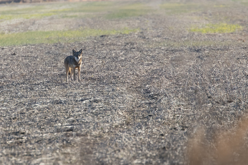 Red Wolf, Coyote, or Hybrid ?? (btw, there's a big bear just out of frame in right foreground that he's staring down!!!)