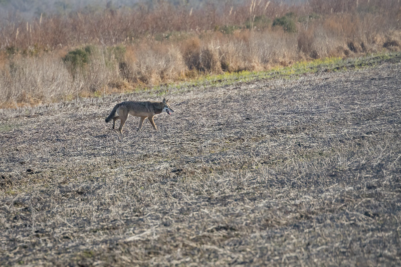 Red Wolf, Coyote, or Hybrid ??