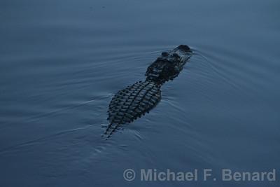 Large Alligator at Sunset