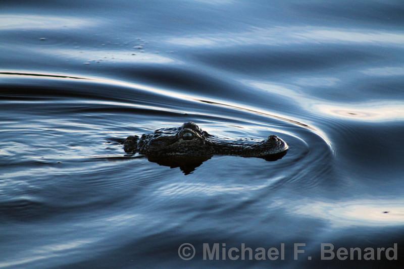 American Alligator Portrait