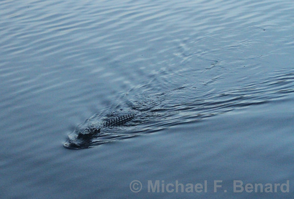 American Alligator swimming at sunset