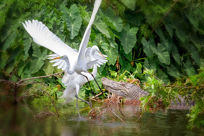 Great Egrets and Alligator