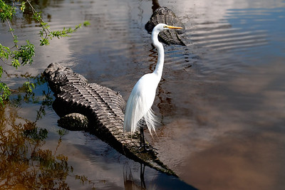 (C149) Great Egret on Alligator