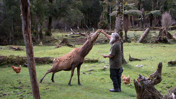 Guiness, A pet Elk from Punakaiki, New-Zealand