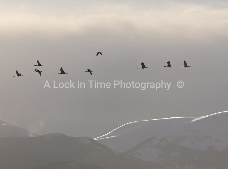 Sand hill cranes migrating with the majestic Rockies int he background