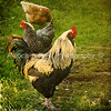 Proud rooster struts his stuff