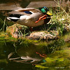 Lil ducky waving hello!