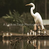 This egret was found on a lake in Gerogia. This was shot at nearly 300 meters and managed to fall in the lake while trying to get it!