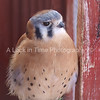 This tiny bird is a skilled and deadly hunter