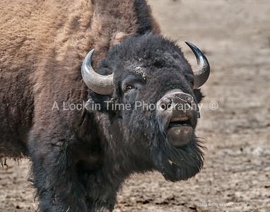 Buffalo sniff