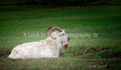 Billy Goat Gruff - saw this guy outside of Taos, New Mexico and thought he had tons of character