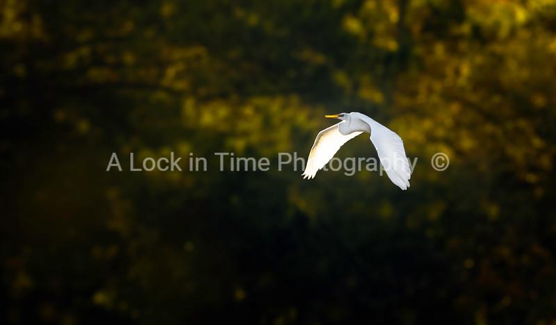 whita egret