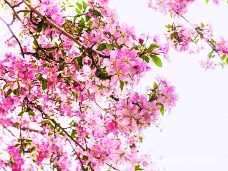 chewrry blossoms