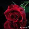 Beauty in a single rose
