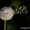 dandelion pods