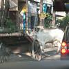 cows everywhere