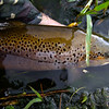 A serious lump of Brown trout
